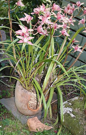 Repotting Cymbidium Orchids
