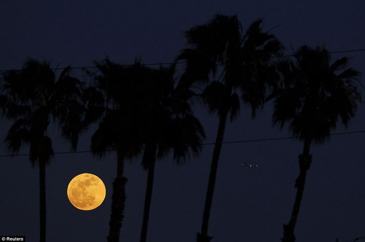 *Seen massively larger than a landing plane at the Los Angeles International Airport in Inglewood, California, the supermoon balances itself among the palm trees