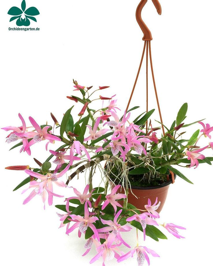 Dendrobium Nikkou #orchids #Orchidee #Orchideen #OrchIDEENgarten #orquídea #orquídeas #orchidées #orchidée #orchidej #orchideje #orkid #orkidéer #storczyki #storczyk #nature #naturelovers...