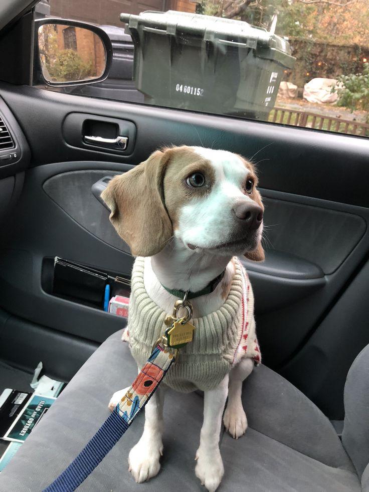 Lemon beagle sweater Love, Actually cute puppy dog