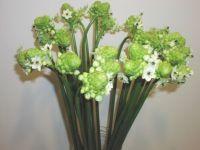 Afrikalilje - Ornithugalum Arabicum