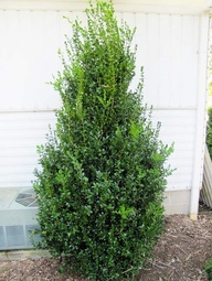 Highlander Boxwood (Buxus sempervirens Highlander): Fast growing, upright shrub. dark green foliage holds its color all winter. Leaves are slightly larger than common boxwood, feature the same dark green. Can grow 2 feet+ per year. pyramidal growth habit makes it good choice for flanking entries. Full sun to light shade and moist, well-drained soil. 6-7 feet tall, 3-1/2 feet wide. Zones: 5-9