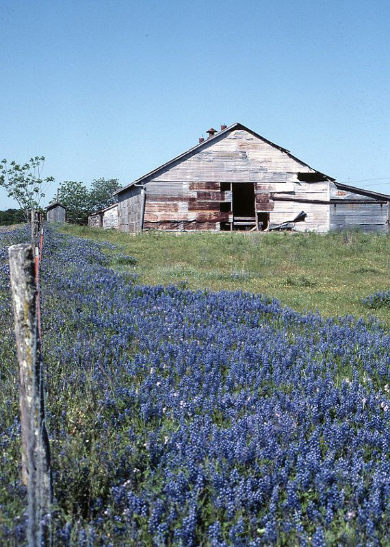 Bluebonnets, Bluebonnets and Barn, Texas Bluebonnets, Field of Bluebonnets, Spring Flowers, Flowers in Texas, Wildflower, Wall Photo Decor on Etsy, $20.00