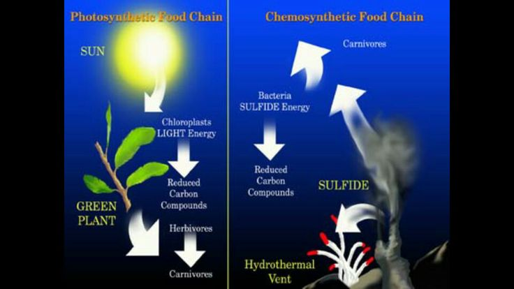chemosynthesis in the classroom As deep-sea hydrothermal vents, chemosynthetic sym-  rely on chemosynthesis , a process by which prokaryotic  class demospongiae.