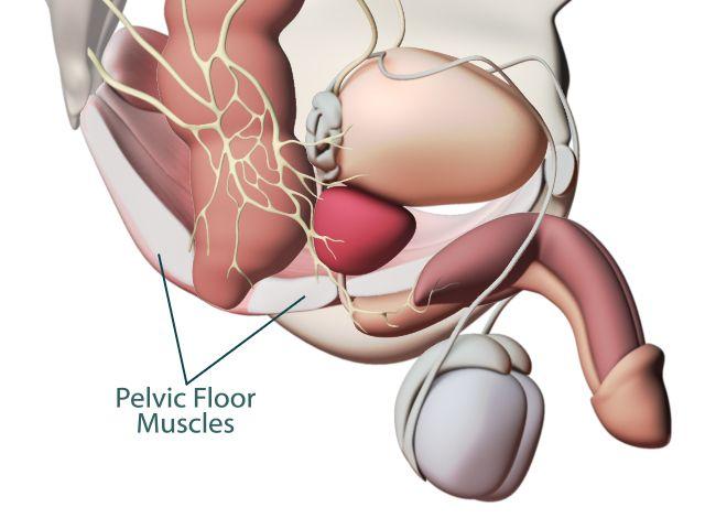 erection on command kegel pelvic muscle anatomy