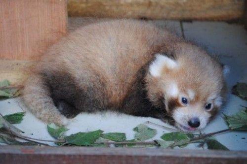 В Британском зоопарке родился редкий детеныш красной панды. В Британии находится зоопарк Ньюквей, на территории которого недавно появился на свет детеныш. Он является первым из своего рода, принадлежащем к редчайшему виду красных панд. Малыш пока что...