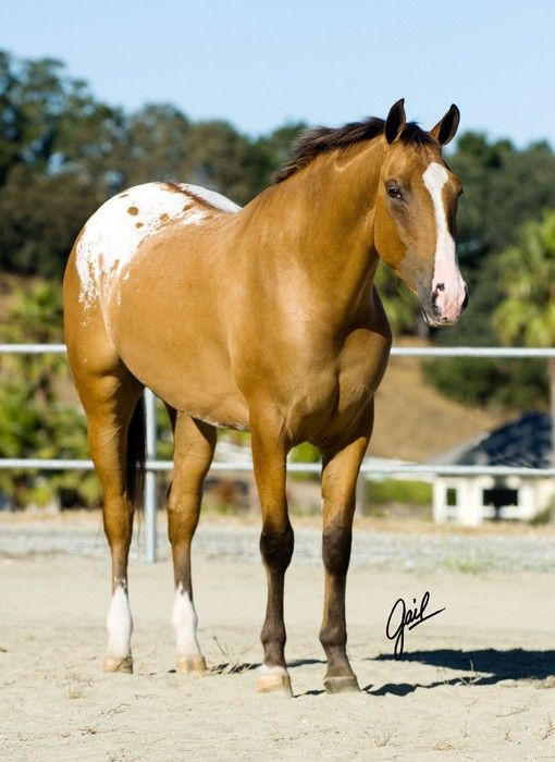 "Tack Me Up - Yellow Dun Appaloosa with a Divided Blanket (a normal blanket with a ""colored stripe"" down the dorsal to the tail, resulting with two separate white ""Blankets"" on the hindquarters."