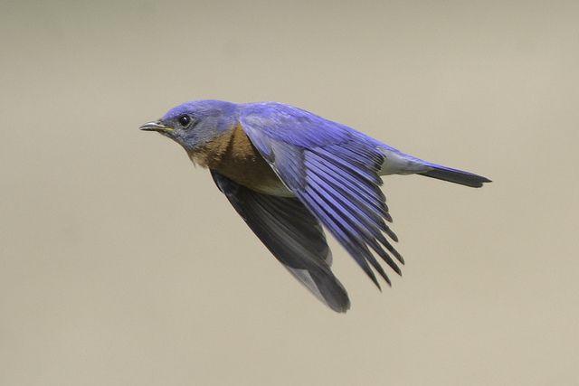 Eastern bluebird in flight - photo#2