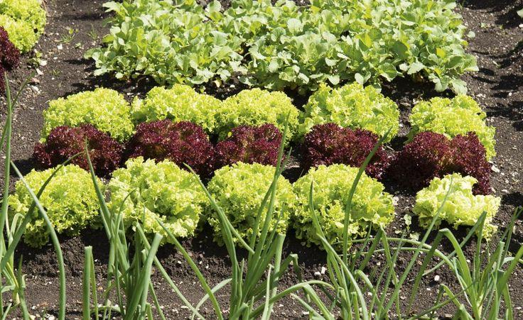 Salat gedeiht auf jedem Gartenboden und die Sortenvielfalt ist riesig. Schade nur, dass auch Schnecken ihn zum Fressen gern haben. So erzielen Sie trotzdem eine gute Ernte.