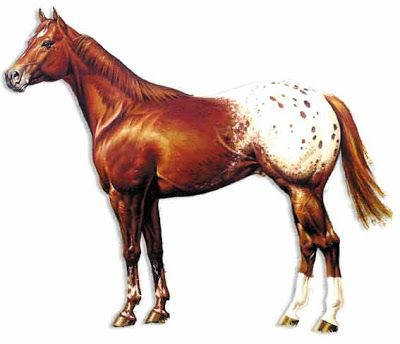 Appaloosa Horse Pictures and Information