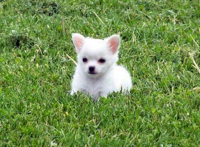White Teacup Chihuahua White Teacup Chihuahua Fluffy