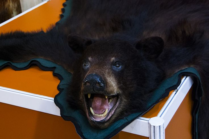 Mighty bear trophy seen during Polish Hunting Fairs - Hubertus EXPO 2015. Hunt beautiful beasts of the wild with us!