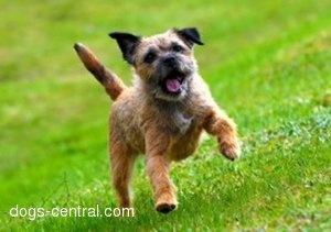 Border Terrier. Cute!!!