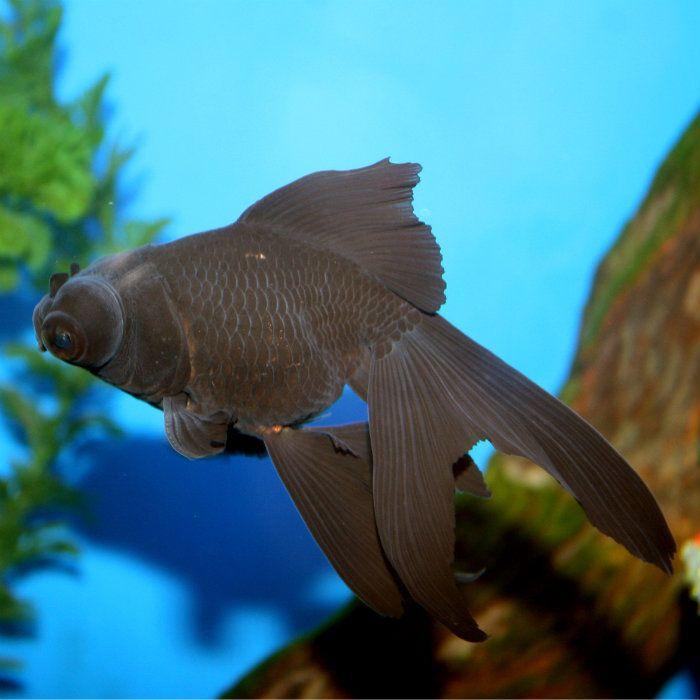 Calico fantail goldfish medium goldfish fantail for Calico koi fish