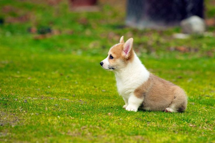 Come and PLAY!  This page has great photos of Corgi puppies...this is just one.