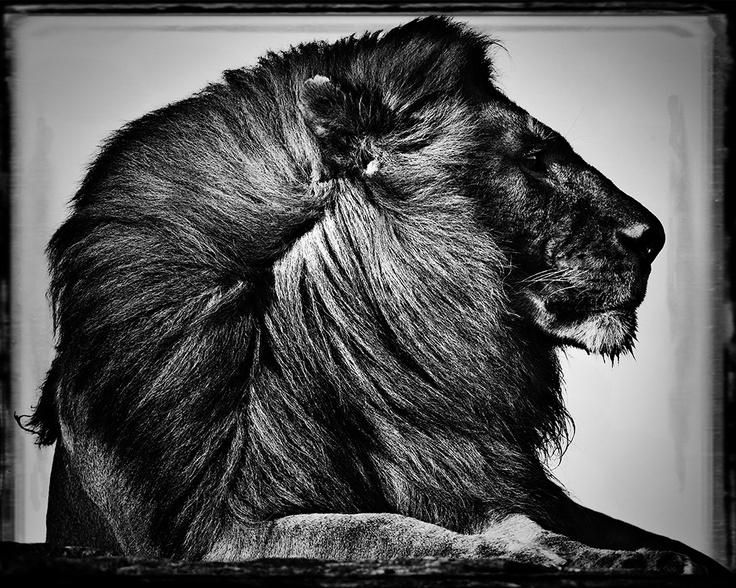 Criniere de Lion - Laurent Baheux