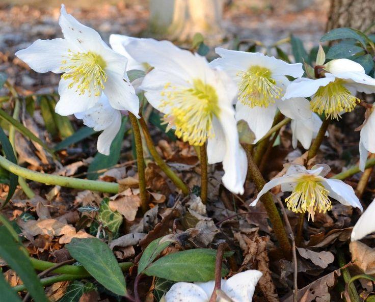Candidi e delicati, sono i bellissimi bucaneve #piante #giardino #inverno #winter