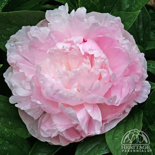 "H) Paeonia lactiflora: Lady Orchid.  Blooms late Spring through mid-Summer.  Foliage is a deep green of upright bush.  Flowers are large and light pink in color.  Grows between 23"" - 29""."