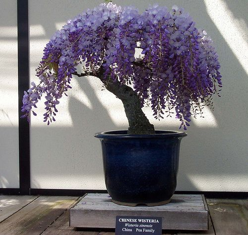 would love to do a wisteria bonsai too.  Boy, would I LOVE to do a bonsi wisteria! Ours is taking over the arbor & it is falling down! I chop it off every year, but to no avail! This is beautiful!