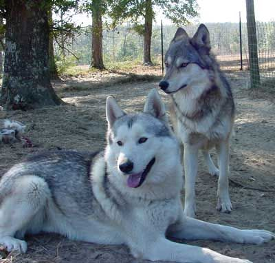More wolf hybrids. I want another one! They are the best dogs. Ever.