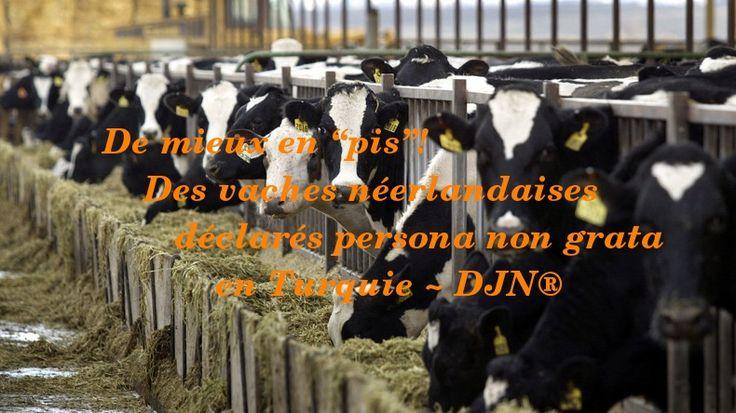 La crise diplomatique entre Ankara et Amsterdam n'aura même pas épargné les bovins. 40 vaches de la race néerlandaises Holstein ont été renvoyées aux Pays-Bas par l'Association turque des producteurs de viande rouge.