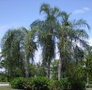 Queen Palm Tropical Landscaping Pool Plants Tropical