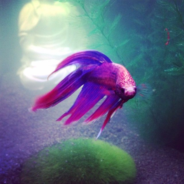 Does petsmart carry live fish you betta believe it for Fish that can live with betta fish