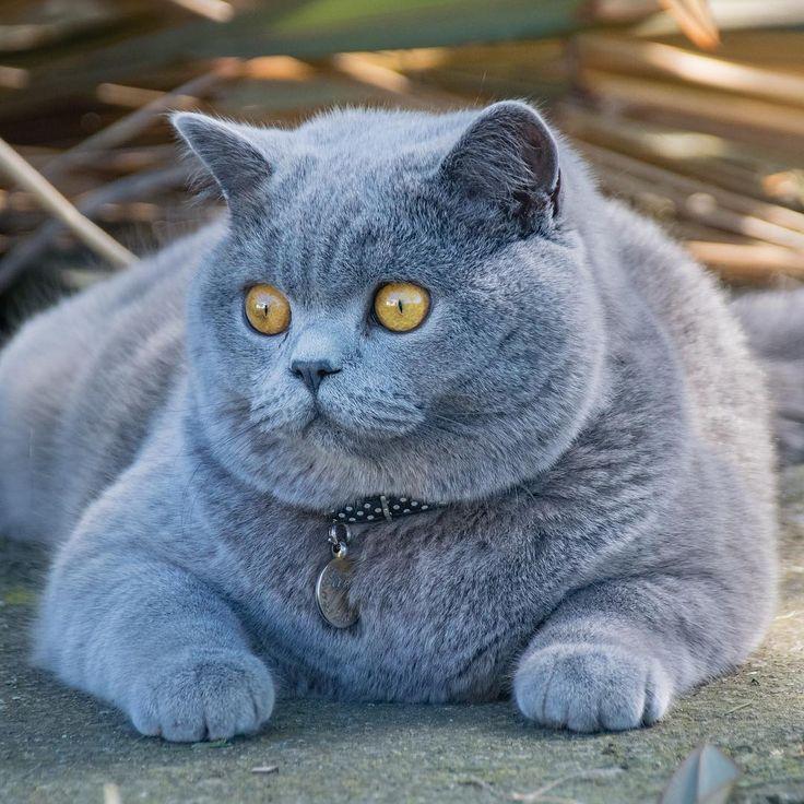 Толстая британская кошка фото
