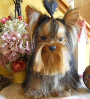 3 month old yorkie puppy size ourtashyorkies male t cup yorkie 7 months old 2679
