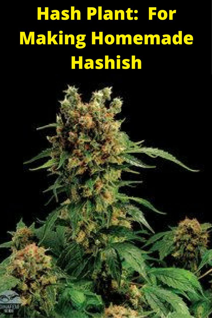 Hash Plant: Your Top-Choice Strain For Making Homemade Hashish