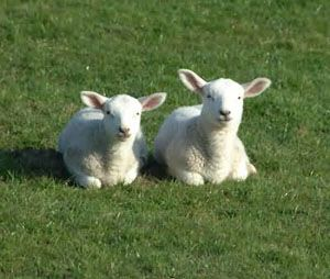 Lambs And Sheep Never Really Understood The Difference