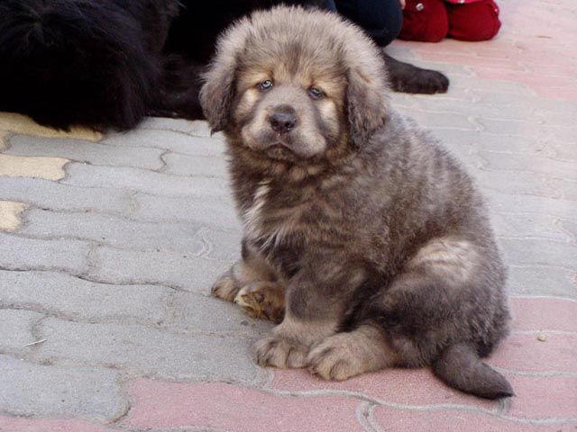 Tibetan Mastiff puppy.... I don't know if I can live the rest of my life without this lil' cutie!!!