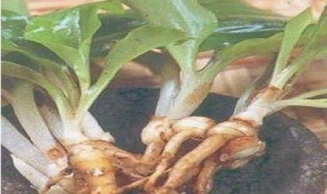 Kencur,Manfaat dan Khasiat Dalam Perobatan Tradisional