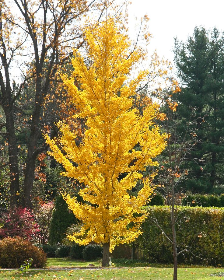 I have to have a gingko tree in the front yard!
