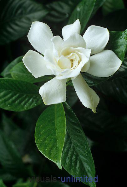 57 besten Gardenias Bilder auf Pinterest | Gardenien, Schöne blumen ...