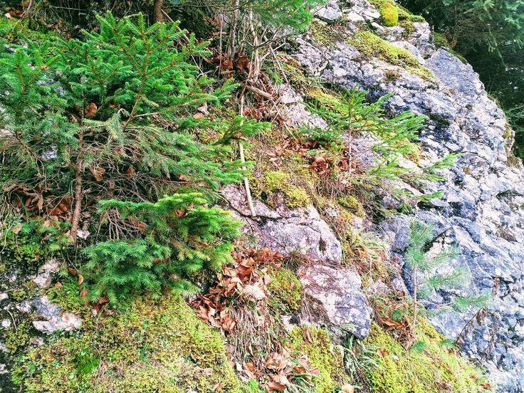 Drei verschieden Nadel-Jungbäume wachsen in dieser Felswand.  #Naturmomente #Schwarzbubenland #Solothurn #Nunningen #Schweiz  #photooftheday #magicplaces #kraftorte #switzerland #switzerlandpictures #magicswitzerland  #nature #naturelovers #green #forest #fall #autumn #sky #mountains