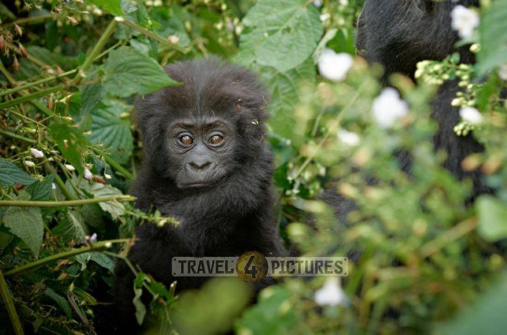 baby mountain gorilla [Gorilla beringei beringei], Bwindi Impenetrable National Park, Uganda, Africa  /  Baby Berggorilla [Gorilla beringei beringei], Bwindi Impenetrable National Park, Uganda, Afrika  /  copyright Juergen Ritterbach