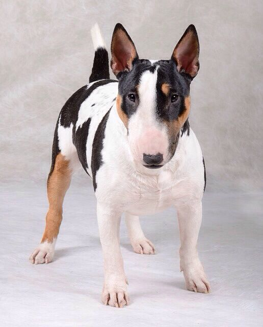 Bull Terrier. I love these dogs, I don't know why. I've never actually met one. I just love their funny heads and those ears!