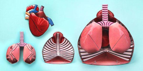 3D Circulatory System Paper Model paper model
