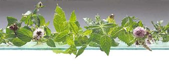 List of mint plants - want: orange mint, chocolate mint, ginger mint, basil mint, pineapple mint,