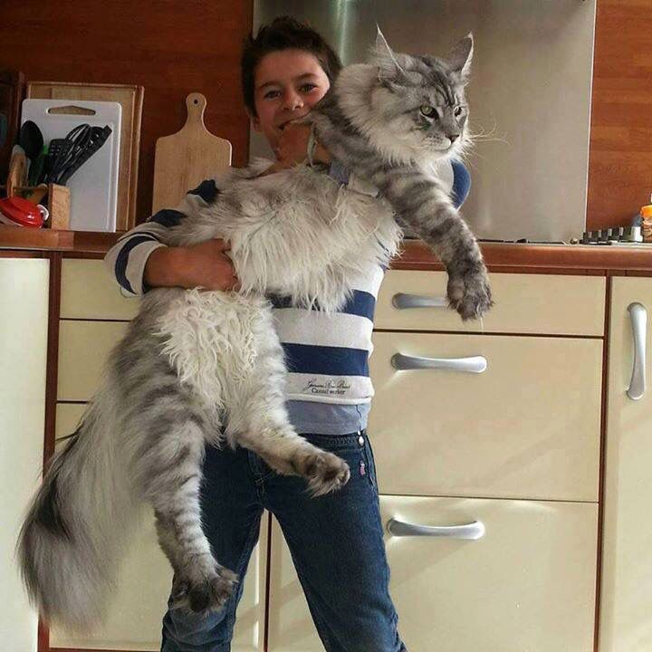 This is a Norwegian Forest Cat. The breed is one of the few domesticated house cats still common in the wild. I WANT ONE!!!!!