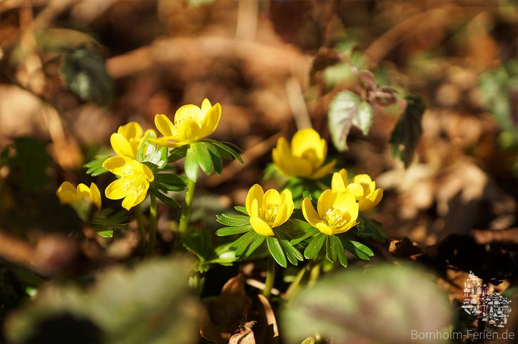 Spring is coming to Bornholm !!! #blume #flower #bornholm #dänemark #denmark #nature #spring #frühling