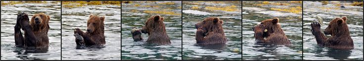 Tool use among brown bears. This one fished for the right barnacle covered rock with which to scratch his face.