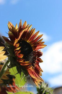 Słonecznik / Sunflower