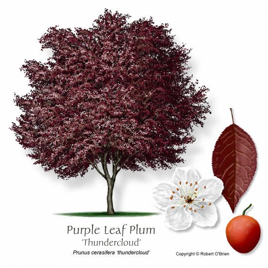Purple Leaf Plum. moderate water. full-partial sun. fast growing (20x15). spring: clusters of pink, rose or white flowers. small-scale specimen tree. purple foliage.