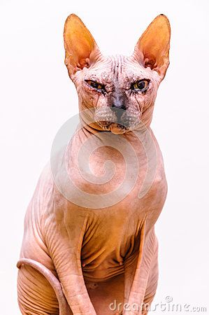 Sphinx cat body isolated white background.