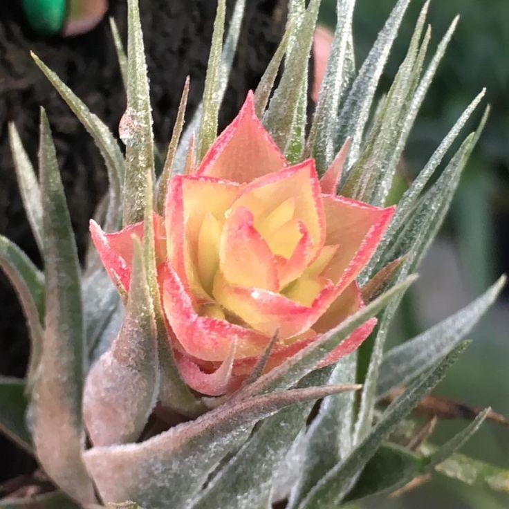 エアプランツ こんなに美しい花を咲かせるんですね✨