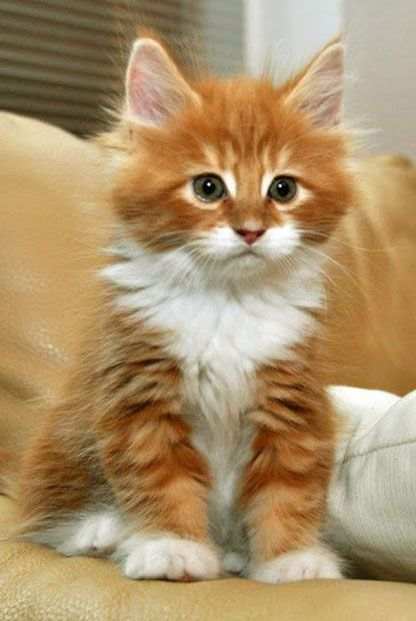 ♔ Ginger kitten, so cute!