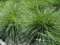 Lomandra longifolia 'Verday' is a hardy easy care plant
