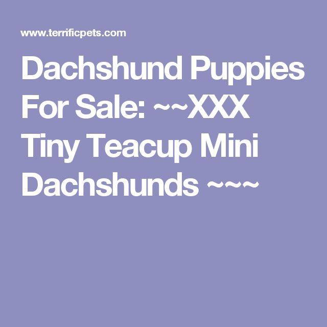 Dachshund Puppies For Sale: ~~XXX Tiny Teacup Mini Dachshunds ~~~